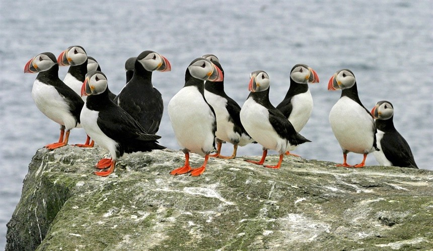 Don't miss out on Puffins during your summer holiday in Iceland