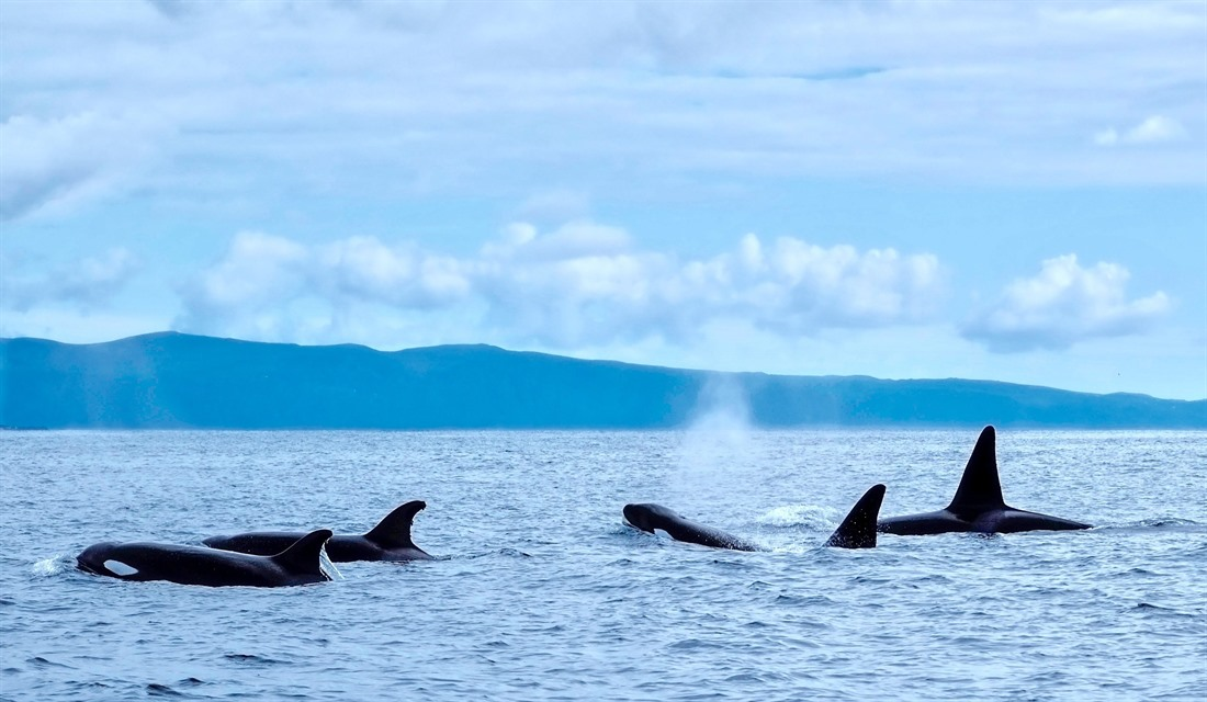 Killer whales spotted off the coast of Pico Island