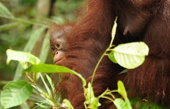 Borneo Rainforest Lodge and the Wildlife of Danum Valley : Section 5