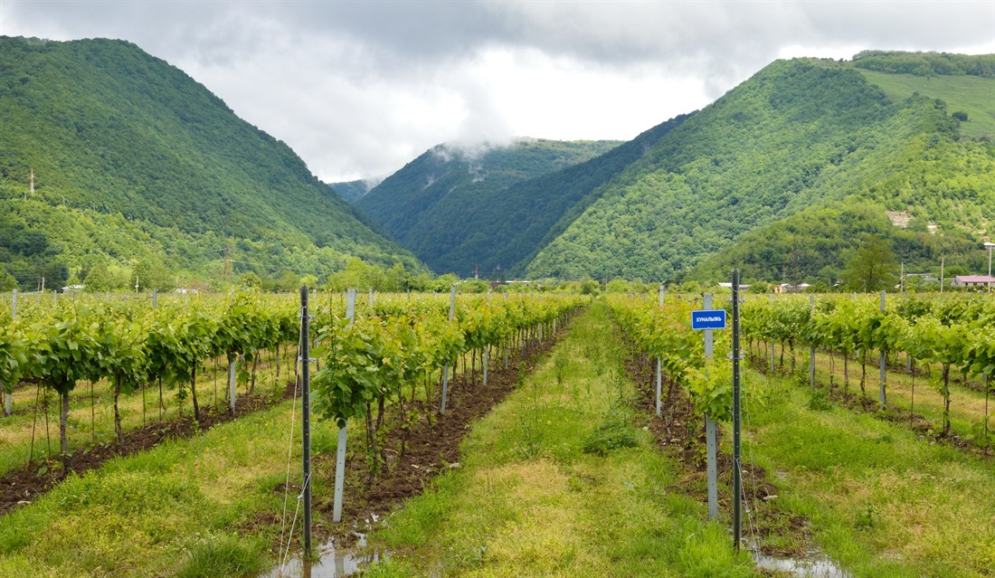 Vineyard in Abkhazia