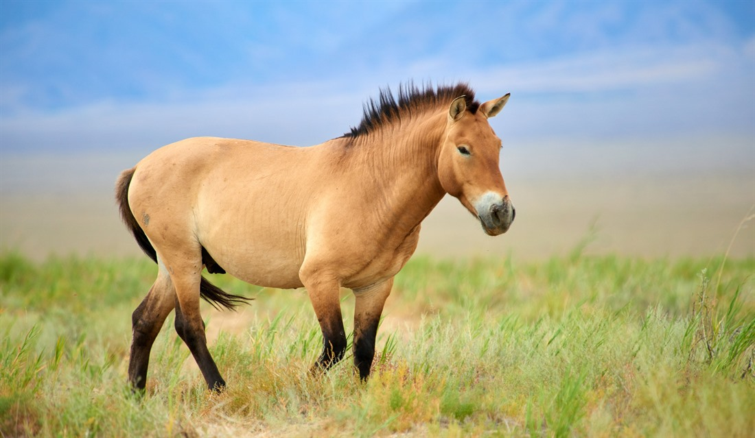 The Przewalski horse is one of the world's few