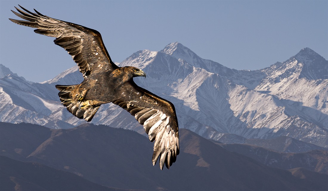 A golden eagle flies in the Tien Shan Mountains. © Shutterstock/MehmetO