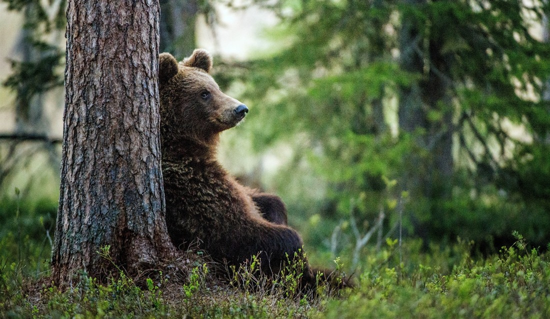 Bears still roam Russia's wilds, and lucky travellers may catch a glimpse of one - from a safe distance! © Shutterstock/Sergey Uryadnikov
