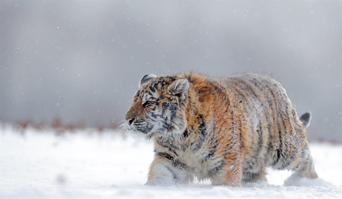 The hardy (and extremely rare) Siberian tiger still prowls the snowy birch forests of eastern Russia. © Shutterstock/Ondrej Prosicky