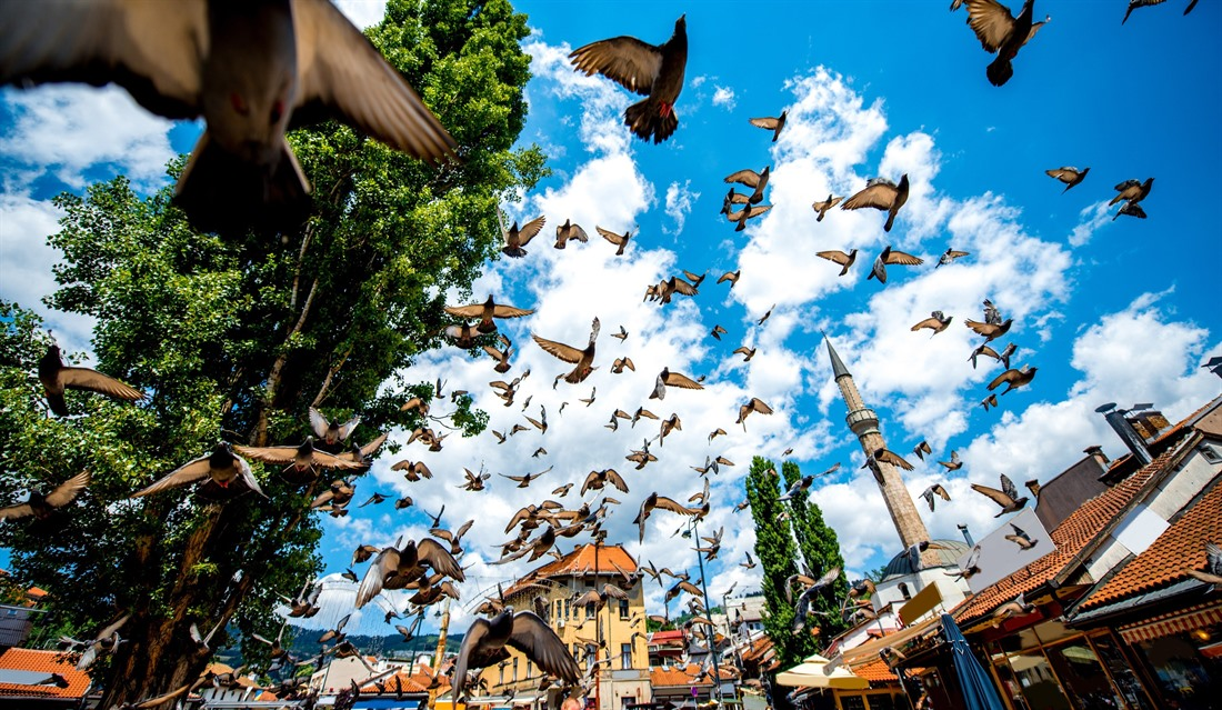 Pigeons flying in Sarajevo's old main square. © RossHelen