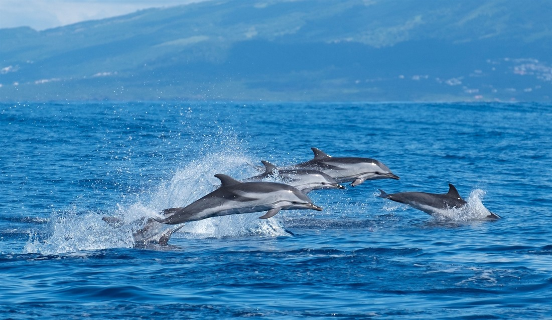 Jumping dolphins off the coast of São Miguel