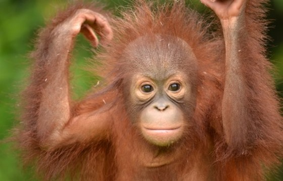 Orangutans in Borneo: Gelison's story : Section 2