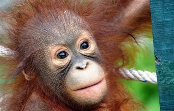 Orangutans in Borneo: Gelison's story : Section 4