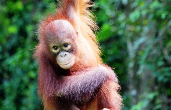 Orangutans in Borneo: Gelison's story : Section 5
