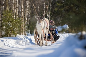 Along the reindeer path – 1 hour reindeer safari 1