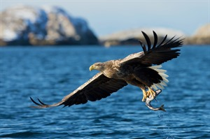Sea eagle in Norway