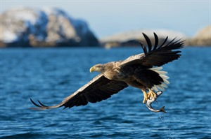 Sea eagle in the fjord