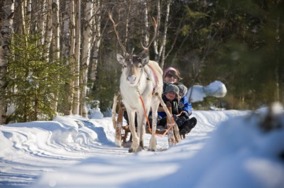 Along the reindeer path – 1 hour reindeer safari
