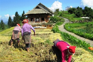 Topas Eco Lodge, Sapa - Harvest season