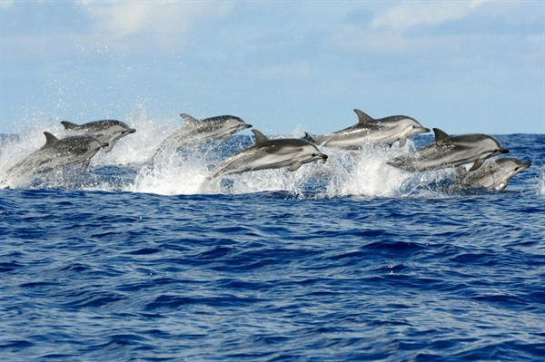 A happy pod of dolphins