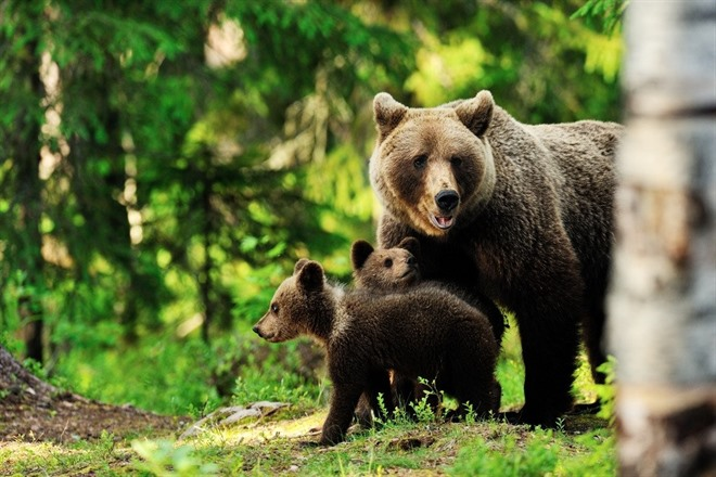 MEET THE BROWN BEARS