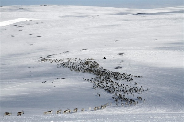 Reindeer Spring Migration Adventure
