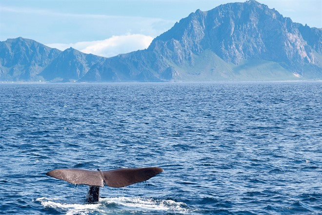 Sperm Whale in off the coast of Vesterålen