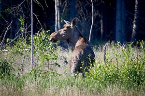 Moose are frequently seen in the area