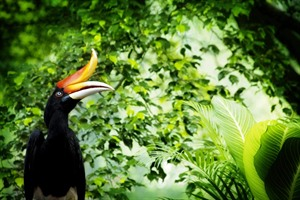 Hornbill on the Kinabatangan River