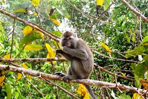 Macaque on the Kinabatangan River