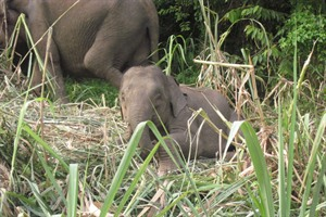 Pygmy Elephants on Kinabatangan River