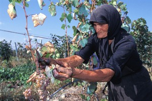 Picking Grapes, Kakheti Province