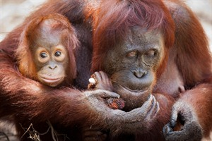 Orangutan mother and infant, Camp Leakey, Kalimantan