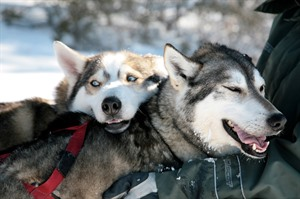 Finland Husky Experience Group Tour 7