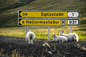 Sheep resting under a signpost, Iceland