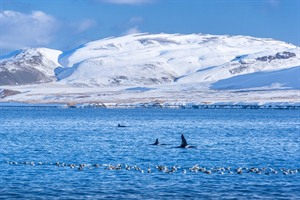 Killer whales in the fjord, Iceland