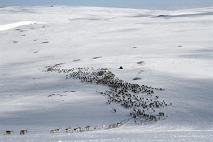 Reindeer Herds in Norway