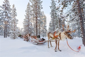 Reindeer safari in snowy forest - Lapland
