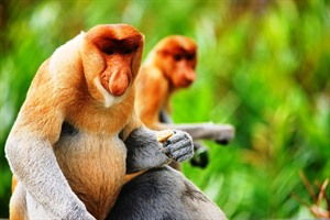 Proboscis Monkeys, Bako National Park