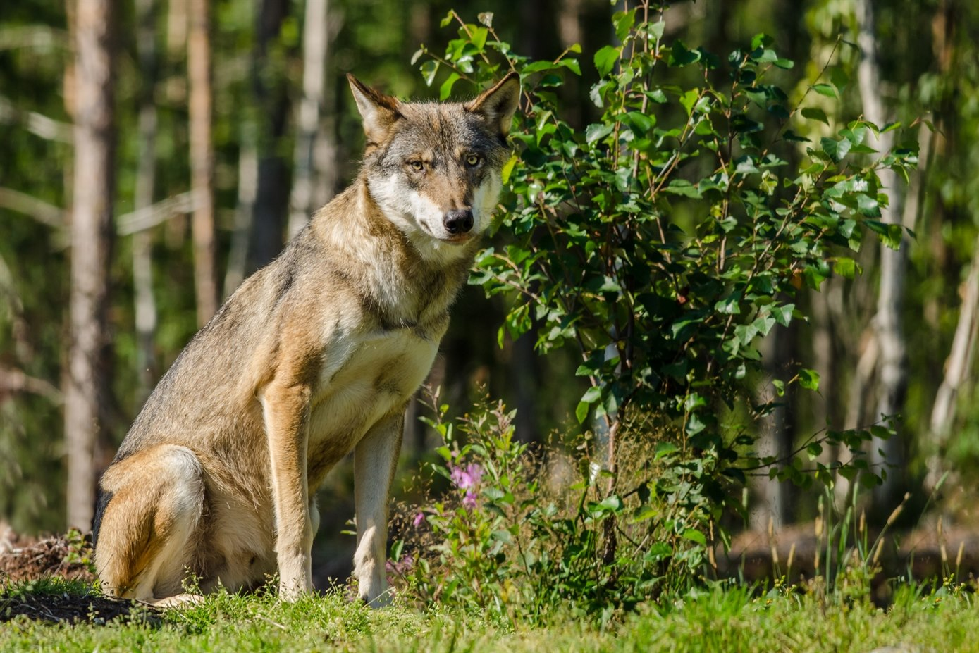 Bears Wolves & Wildlife Adventure Book Finland Tours