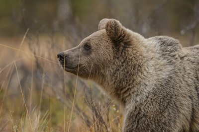 Bear Watching in North Macedonia
